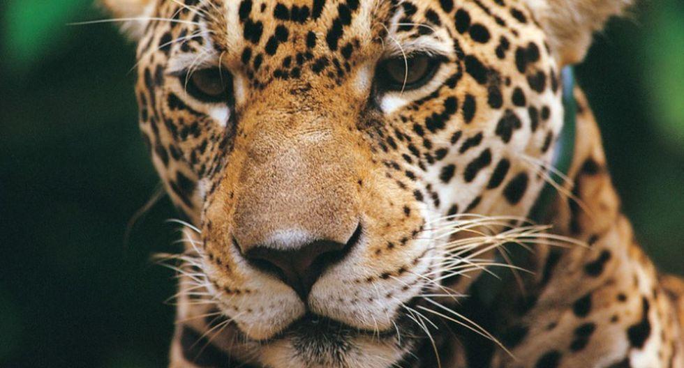 Perú busca proteger al jaguar junto a otros cinco países. (ANDINA)