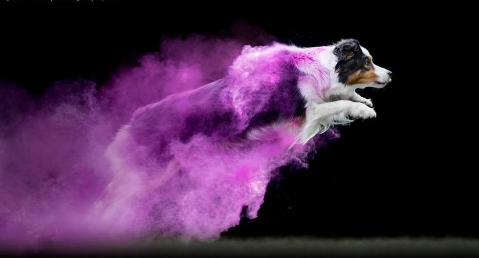 Cohen, el perro de raza Pastor Australiano en acción. (Fotos: Jess Bell Photography en Facebook)