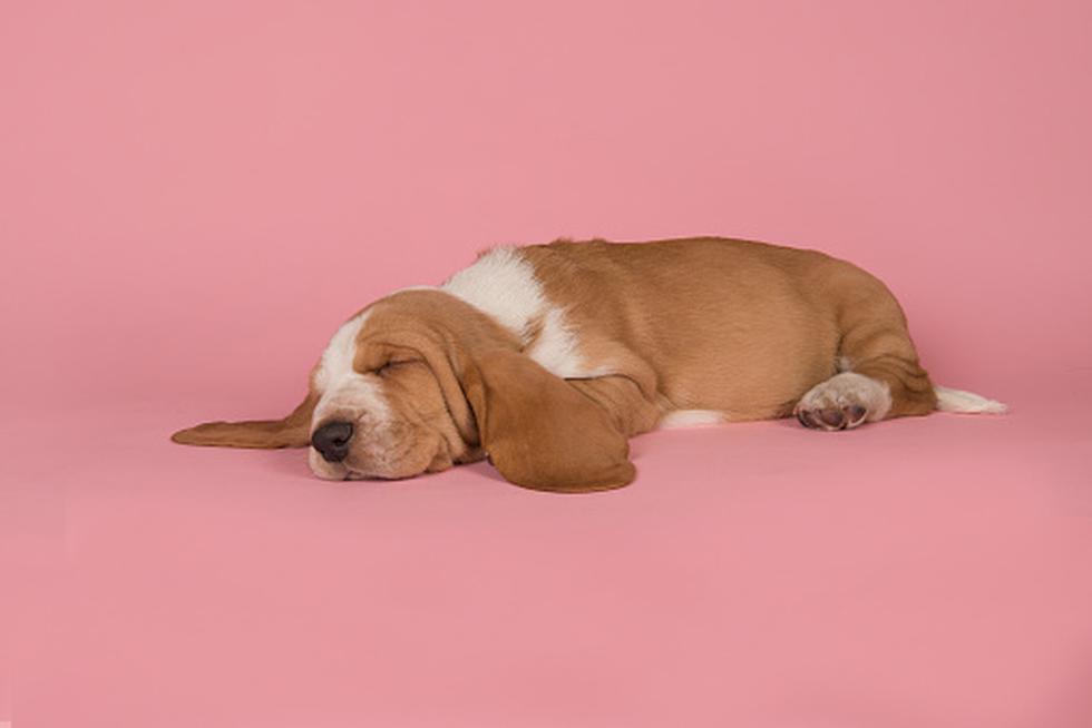 ¿Es normal que tu perro tenga ronquidos o es señal que está mal? (Foto: Getty)
