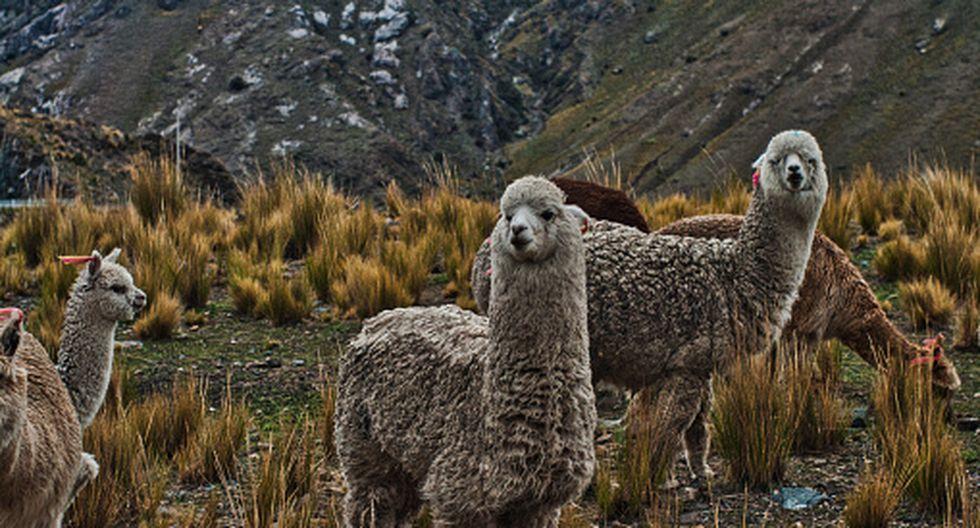 Alpaca (Foto: Getty)