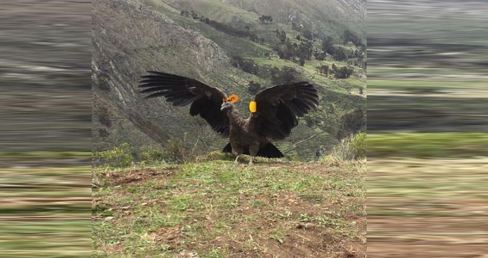Un cóndor andino (Vultur gryphus), macho y juvenil, fue liberado en la comunidad de Carania, en la provincia de Yauyos a 4,200 metros de altitud. (Serfor)
