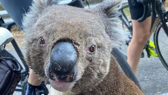 Los incendios forestales producidos al norte de Sydney estan acabando con la vida de cientos de koalas que habitan en el lugar. (Foto: instagram / bikebug2019)