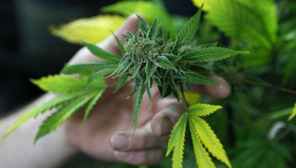 Marihuana: La feria estatal de Colorado premiará al mejor cultivo. (Reuters)