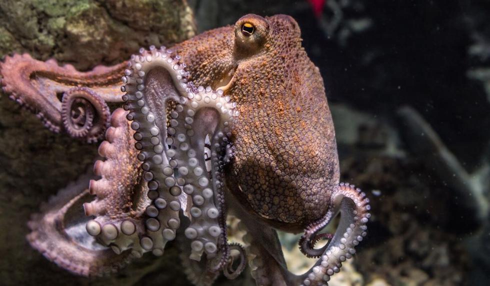 Los pulpos usaron sus tentáculos durante la pelea. (Foto: Referencial - Pixabay)