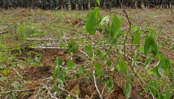 Perú tenía en 2013 unas 49,800 hectáreas cultivadas de coca frente a las 60,400 de 2012.(EFE)