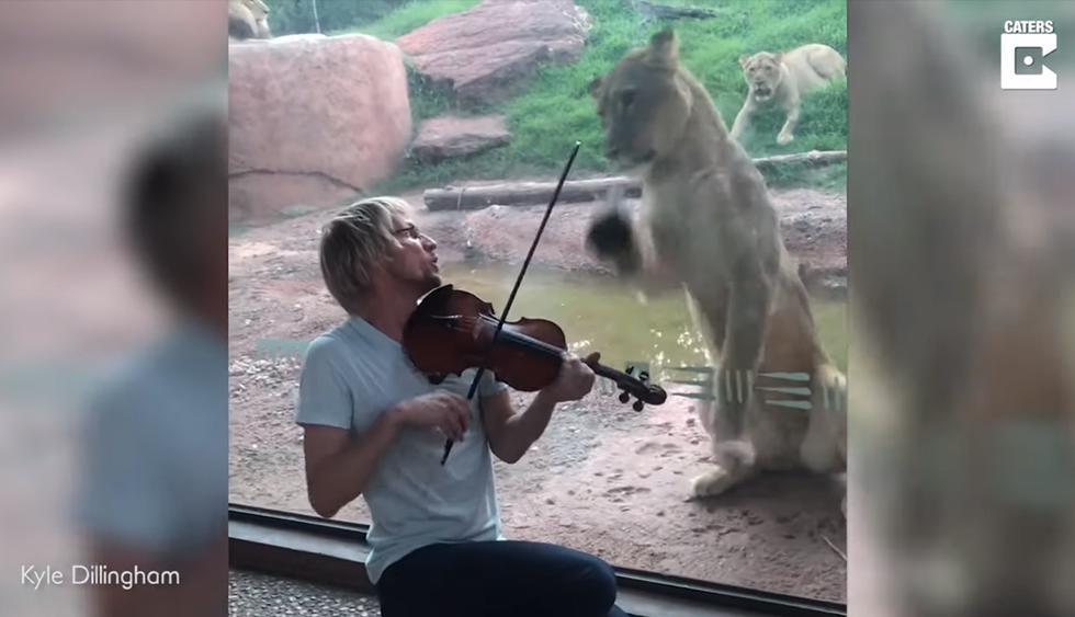 Violinista le llevó serenata a un león y la insólita reacción del felino se vuelve viral en las redes sociales. (YouTube   Caters Clips)