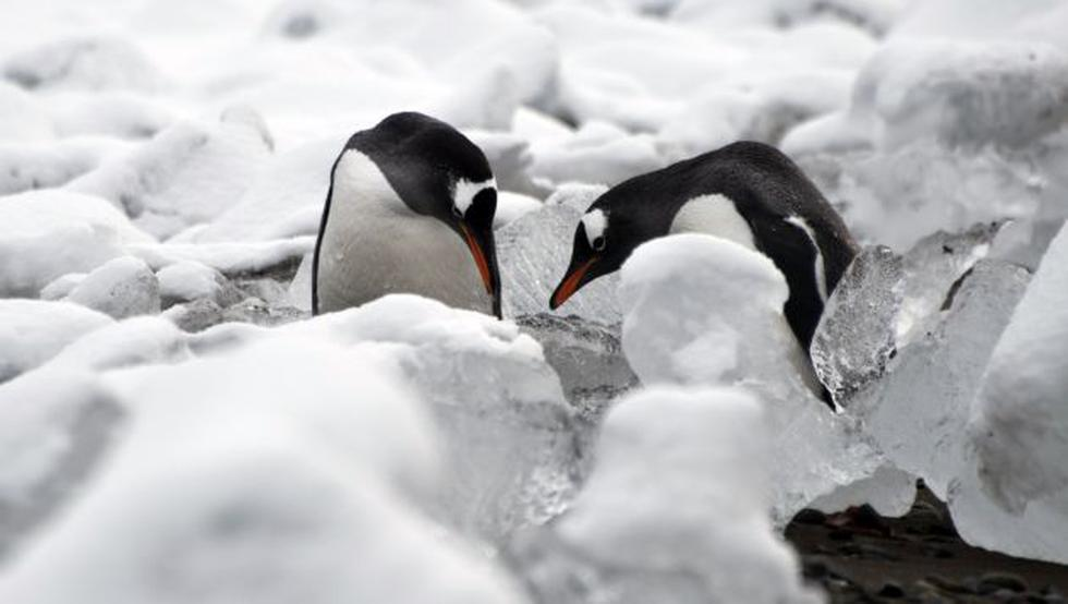Población de pingüinos disminuyó considerablemente. (Referencial/AFP)
