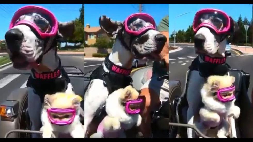El video de un Gran danés y una Pomerania dando un paseo se volvió la sensación en Facebook hasta convertirse en viral. (Foto: captura)
