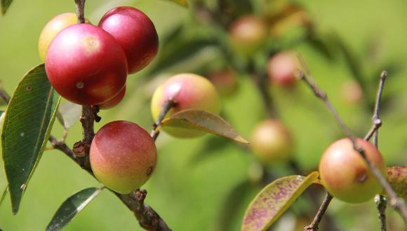 El camu camu INIA 395 Vitahuayo, según el Midagri, se caracteriza por contener más de 2,700 mg de ácido ascórbico por cada 100 gramos de pulpa.
