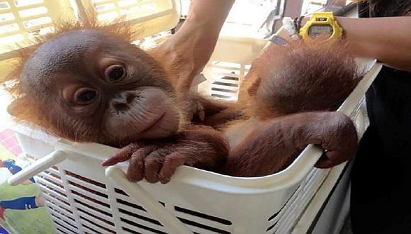 Tailandia: Policías rescatan a dos crías de orangután gracias a supuesta venta vía WhatsApp. (AP)