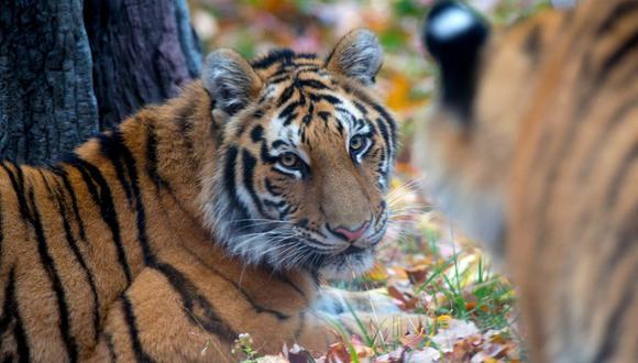 Tierras altas del Himalaya es la zona donde estaban los animales. FOTO: Zoo Bronx