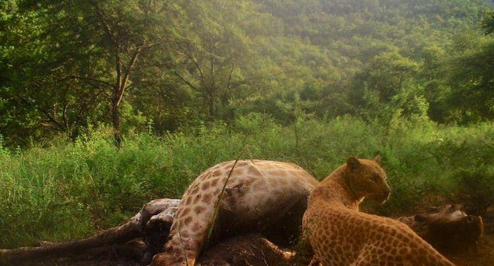 Sudáfrica: Avistan al extraño leopardo 'de fresa' y lo capturan en sorprendentes fotografías (Black Leopard Mountain Lodge)