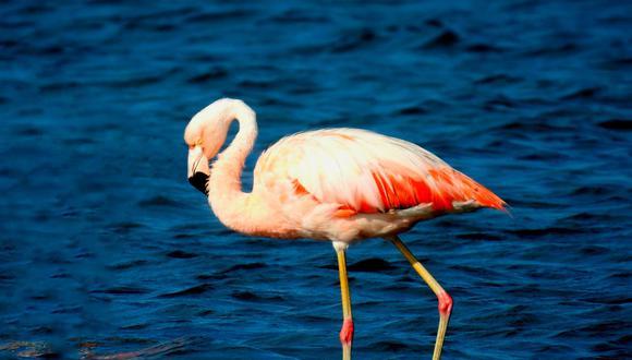 En la laguna Loricosta, en Puno, se encontraron 16 600 ejemplares, seguido de la laguna Parinacochas, en Ayacucho, con 5 468 aves, informó Serfor. (Foto: Andina)