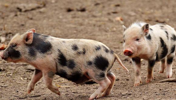 """Un video viral protagonizado por unos """"veloces"""" cerdos acapara la atención de las redes sociales.   Crédito: @inspiredbydenae / TikTok"""