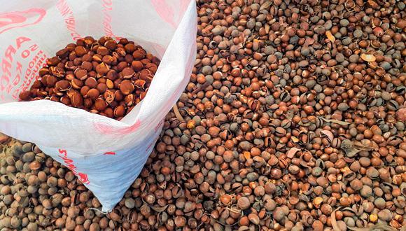 En nuestro país se produce más de 50 000 toneladas de lúcuma al año, desechando 5 000 toneladas de semillas. (Foto Concytec)