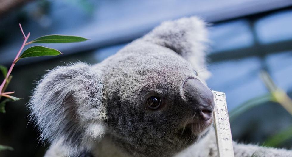 """La petición logró hasta este lunes haber recogido 7.500 firmas.  Un portavoz de la primera ministra Jacinda Ardern explicó que el objetivo del gobierno es ayudar a Australia a controlar el fuego para que los koalas """"se queden en su hábitat natural"""".(Archivo / AFP)"""