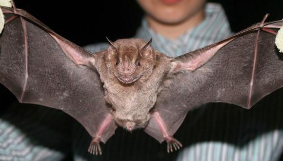 Se realizó 360 este año campañas de control poblacional del murciélago hematófago. (Totsobremamifers)
