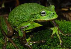 Amazonas: Nueva especie de rana marsupial para la ciencia es descubierta en el Santuario Nacional Cordillera Colán