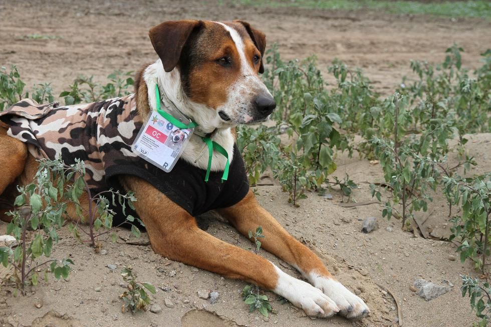 """Un total de 13 perros han sido """"acreditados"""" para acompañar a los miles de atletas que llegaron para alojarse en la Villa Panamericana, ubicada en el distrito de Villa El Salvador. (Foto: Comunicaciones Lima 2019 )"""
