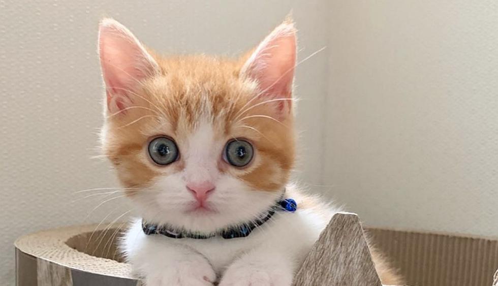 'Chata' es de raza munchkin y de solo tres meses, un tipo de gatos muy populares en Japón que se caracterizan por tener las patas más cortas que lo habitual. (Foto: Instagram @chavata2023)