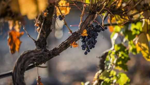 En los viñedos de Huentala Wines coexisten diferentes estilos de Malbec.
