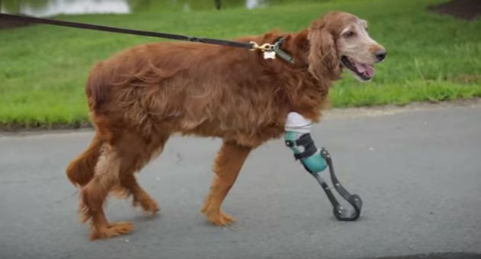 Le colocaron una prótesis y hoy vive como cualquier otro perro. (Mashable)