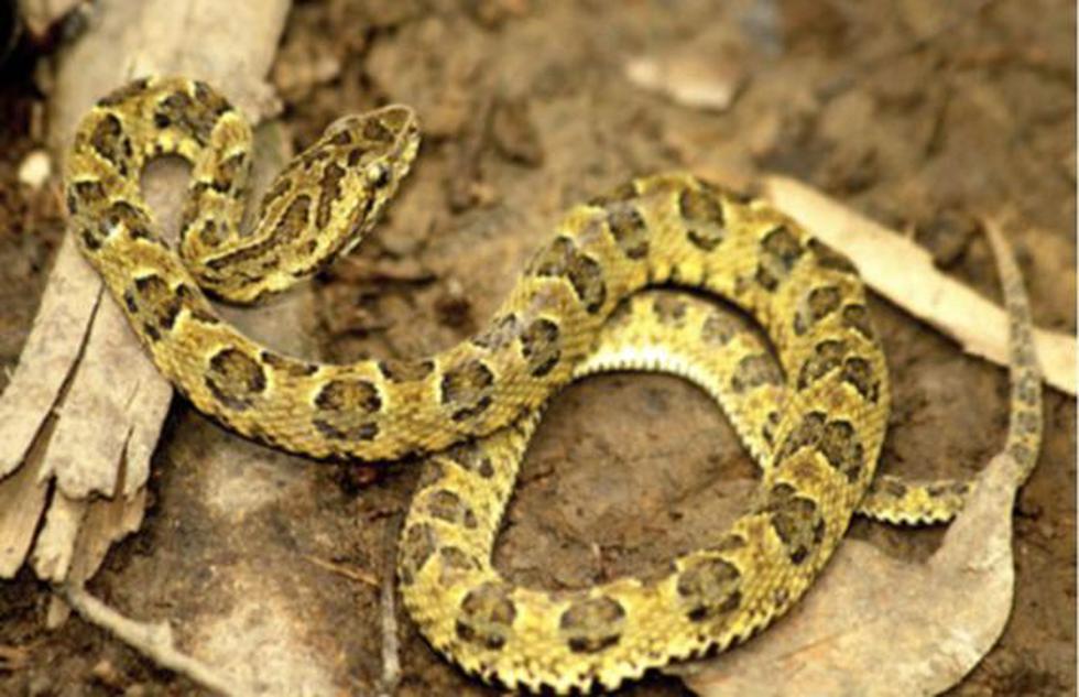 Nueva especie de serpiente venenosa es descubierta en Madre de Dios. (Difusión)