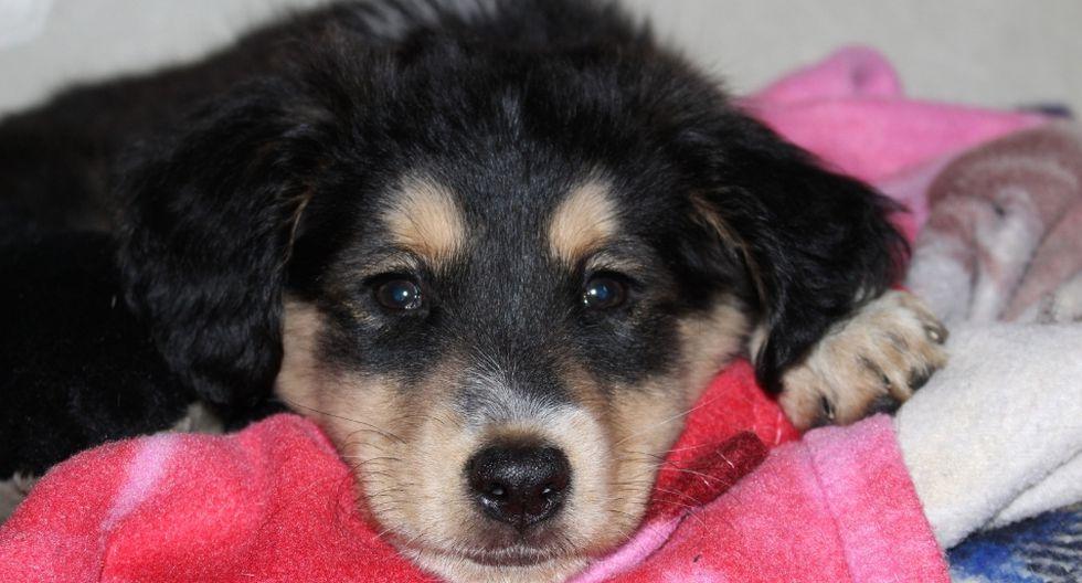 Las primeras conclusiones indican que los humanos no son susceptibles al mal que está matando a los perros en Noruega. (Foto: Referencial - Pixabay)