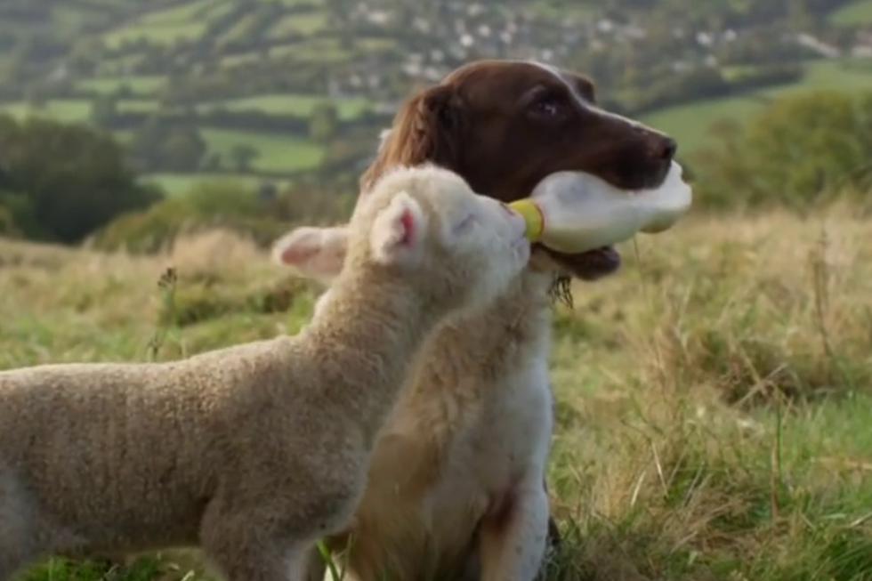 Un perro despertó su instinto maternal y causa furor en las redes sociales por alimentar a corderos huérfanos. (Fotos: Alex Boyle en YouTube)