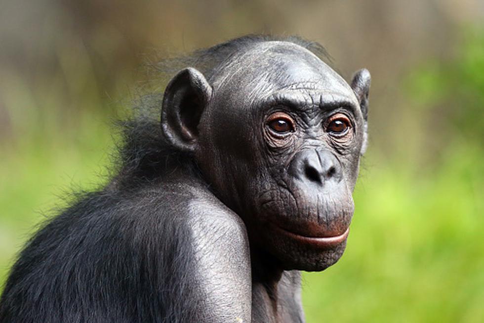 Estudio revela que las madres de los bonobos se aseguran que sus hijos encuentren pareja para perpetuar la especie. (Foto: Getty)