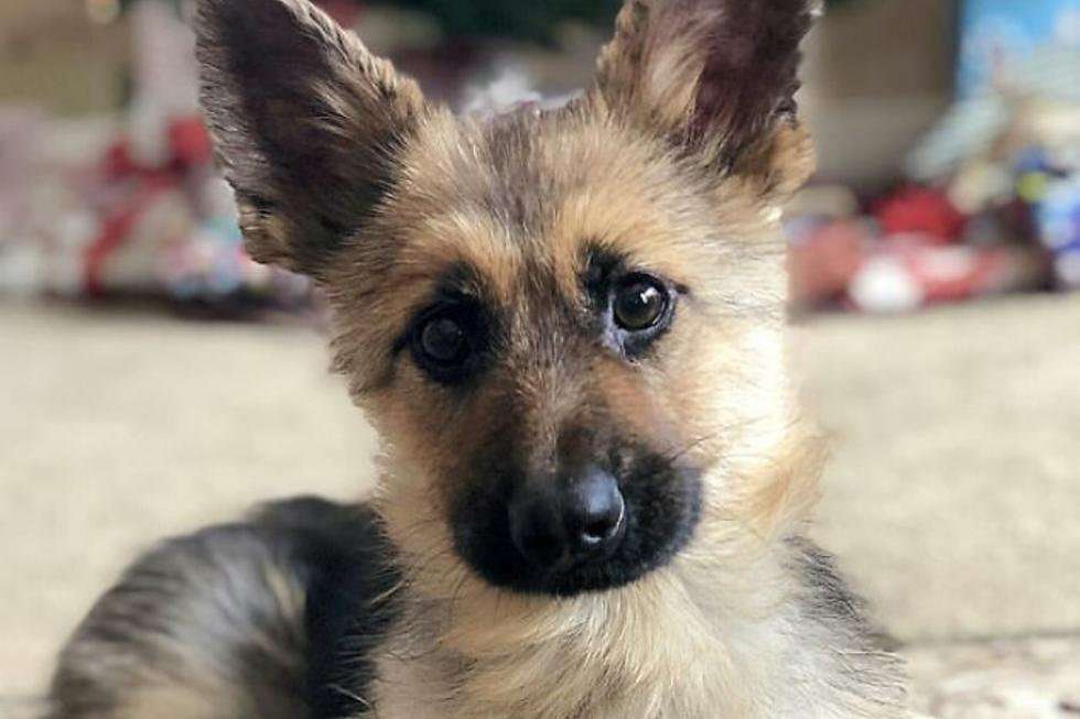 Un perro de raza Pastor Alemán de 2 años de edad padece una extraña condición que lo hace parecer como un cachorro. (Foto: @ranger_thegshepherd en Instagram)