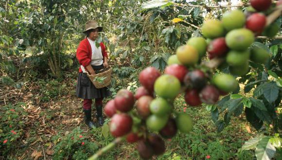 Se están renovando los cultivos de café. (USI)