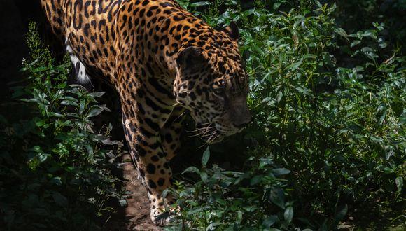 Resultados permitirán mejorar las condiciones en el hábitat de esta especie de felinos. (WWF)