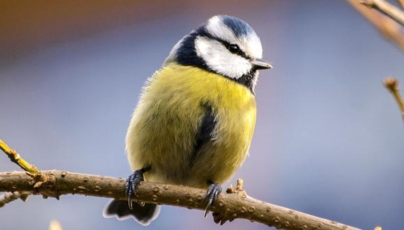 Los herrerillos son pájaros que viven en una buena parte de Europa. (Foto referencial - Pexels)