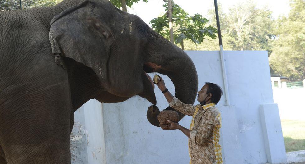 Imagen referencial. Un trabajador alimenta a una elefante hembra en el Jardín Zoológico Kamala Nehru en Ahmedabad (India), el 24 de diciembre de 2020. (SAM PANTHAKY / AFP).