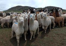 Mejoraron en Puno productos de alpaca con embriones de calidad genética