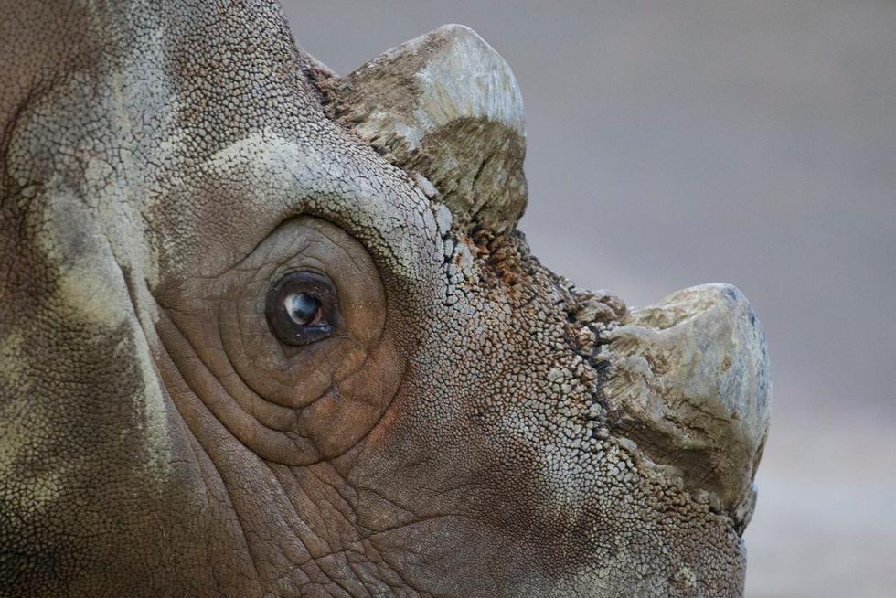 Murió 'Tam', el último rinoceronte de Sumatra macho de Malasia. (Twitter)