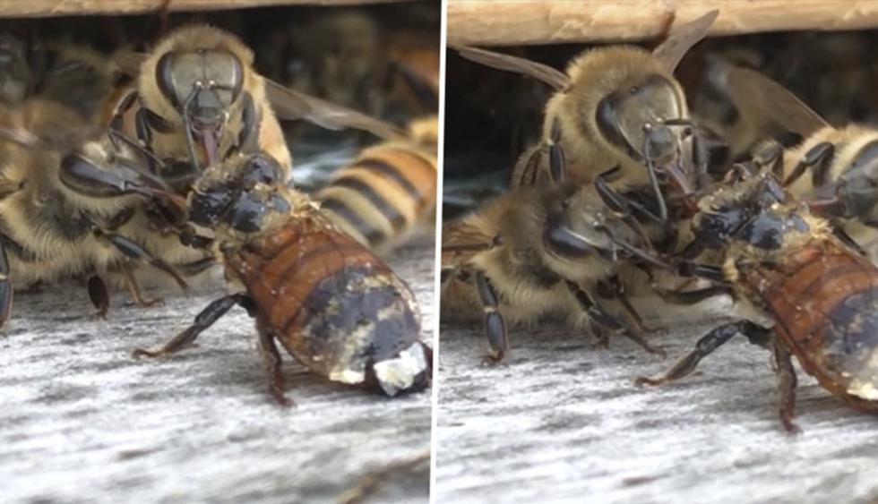Unas abejas se apresuran a limpiar a una compañera que se cayó a un depósito de miel. (YouTube   ViralHog)
