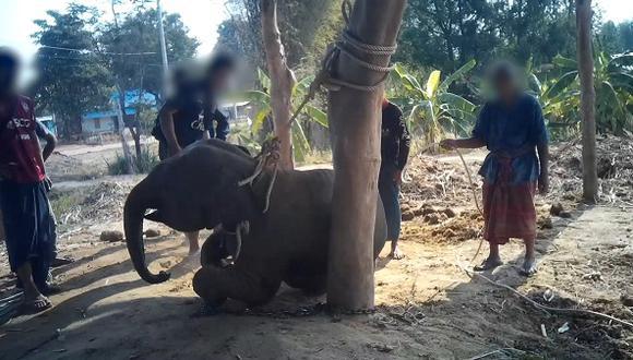 El video puede herir susceptibilidades:  Revelan la crueldad a la que son sometidos los elefantes en Tailandia.