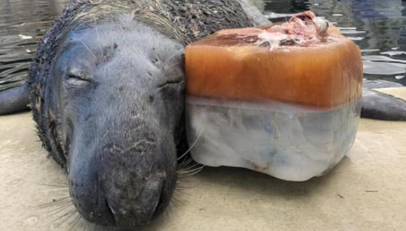 La foca tuvo un comportamiento adorable al darse cuenta del pastel de pescado helado que le obsequiaron por su cumpleaños. (Foto: @officialcornishsealsanctuary / Facebook)