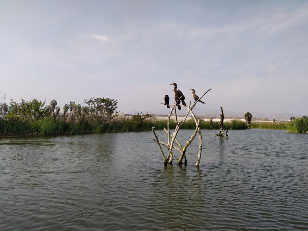 Los Pantanos de Villa: El humedal de Lima que se resiste a desaparecer. (Alvaro Treneman)