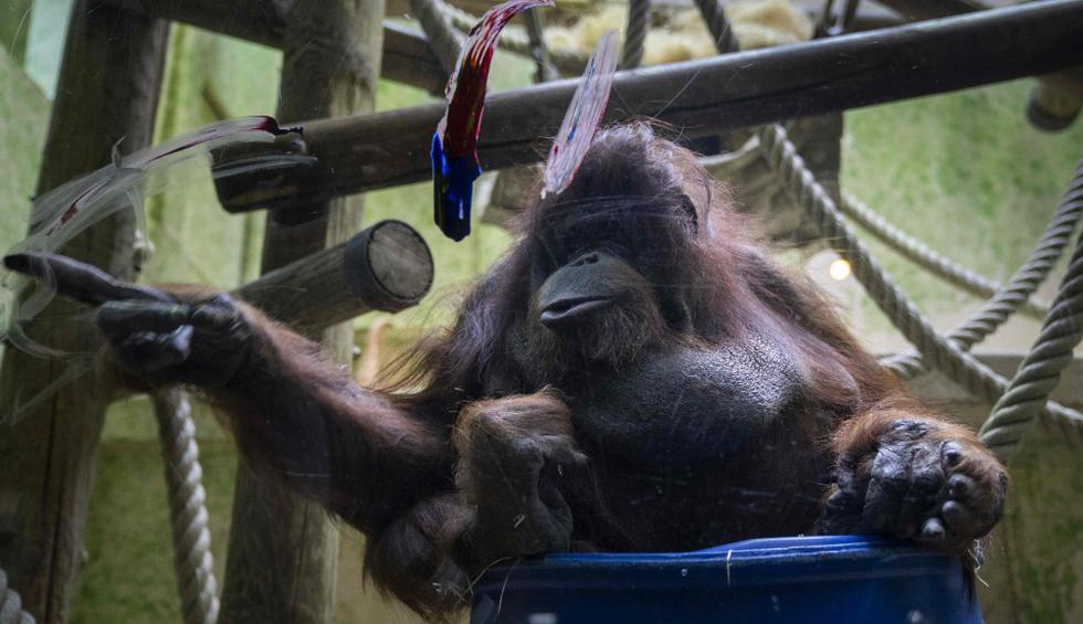 Nénette es ahora una abuela, con una longevidad destacable para un ejemplar nacido en la jungla. (Fotos: AFP)