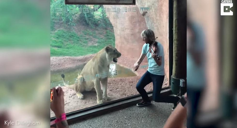 Violinista le llevó serenata a un león y la insólita reacción del felino se vuelve viral en las redes sociales. (YouTube | Caters Clips)