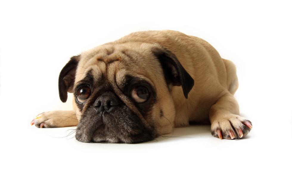 Holanda ha decidido acabar con la cría de las razas de perros que considera que poseen unos rasgos exagerados, y un hocico demasiado corto. (Foto: Getty)