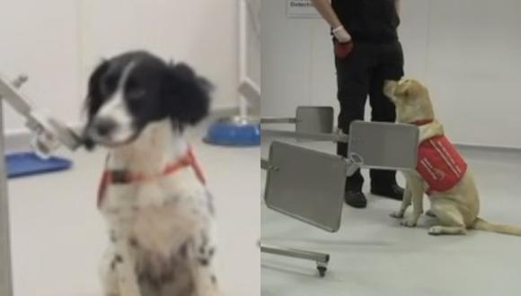 Investigadores británicos entrenan perros para que detecten personas con el  COVID-19.