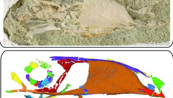 Esta fotografía del folleto, tomada el 10 de noviembre de 2020 y publicada por la Universidad de Ohio el 25 de noviembre de 2020, muestra una fotografía (arriba) y un escaneo producido por micro tomografía computarizada de alta resolución del cráneo de un Falcatakely forsterae fosilizado. (Foto: AFP)