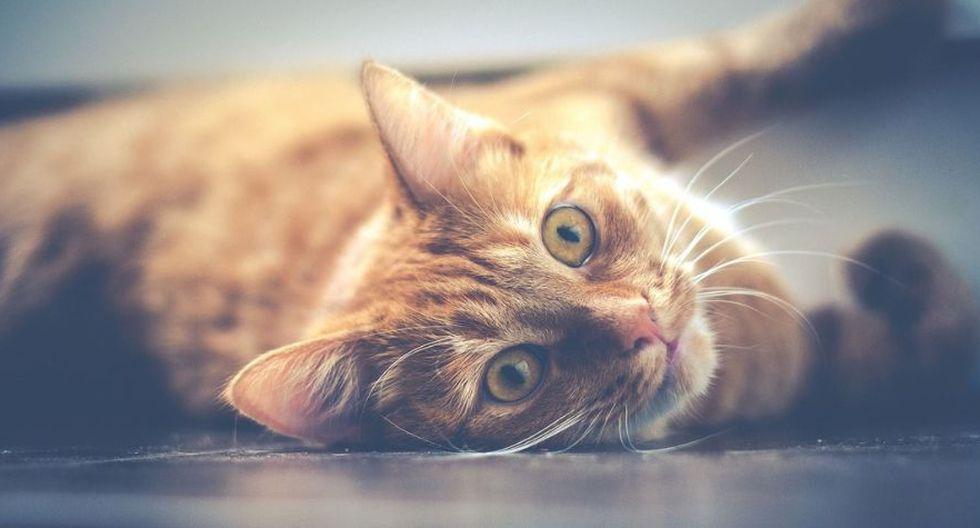 Las gatas deben parir al menos una vez en la vida. Las gatas no tienen porqué pasar ningún trauma en absoluto al no tener ninguna camada de gatitos. (Foto: Pixabay)