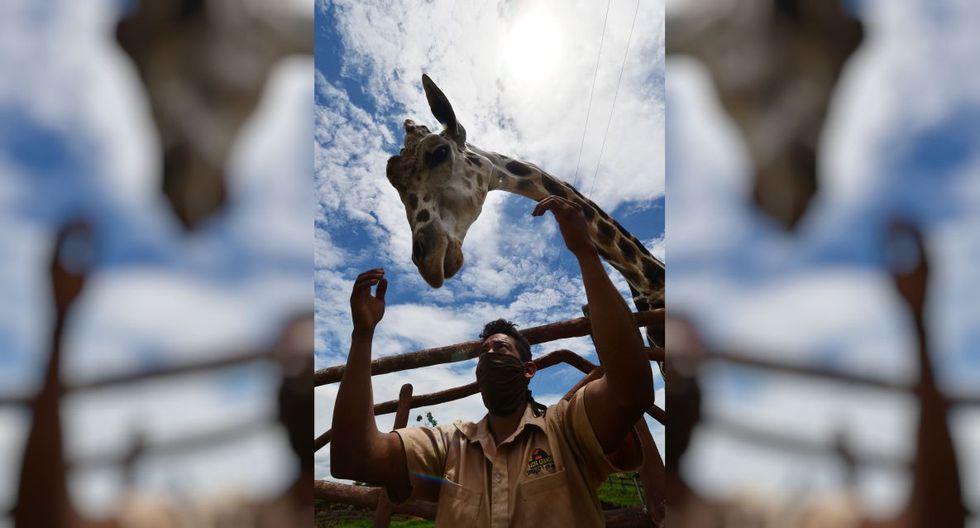 Un empleado acaricia una jirafa en el zoológico de Joya Grande, incautado al cártel de drogas Los Cachiros en el municipio de Santa Cruz de Yojoa, departamento de Cortés, Honduras. El ecoparque está respaldado por donaciones durante la nueva pandemia de coronavirus, ya que no hay visitantes. (AFP / ORLANDO SIERRA)