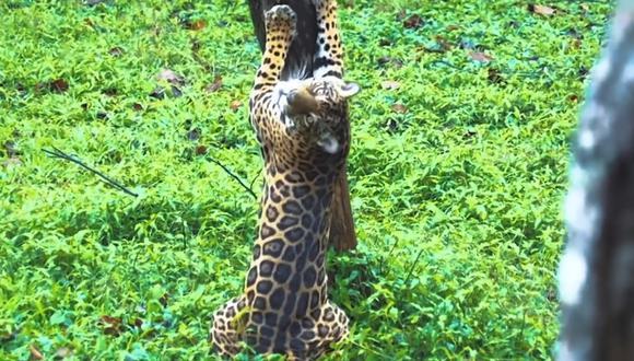 Perú tiene la segunda población más grande de jaguares en América pero la amenaza el comercio ilegal (Foto: Minam)