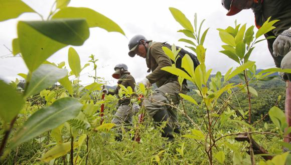 Trabajos de erradicación de hoja de coca en los alrededores de Aucayacu. (FOTO:  DANTE PIAGGIO/ EL COMERCIO)